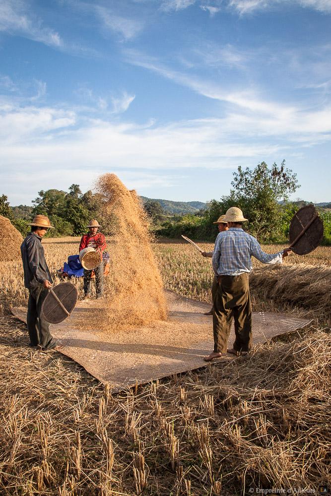 Tri traditionnel du riz