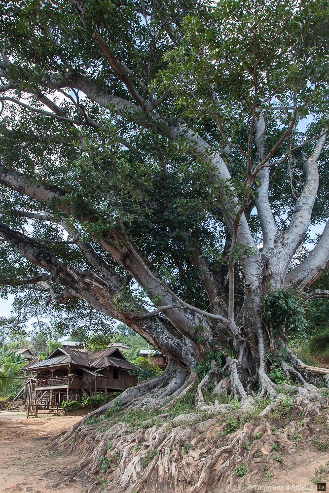 Ficus centenaire