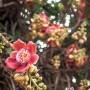 Fleur de l'arbre sala couroupita guianensis