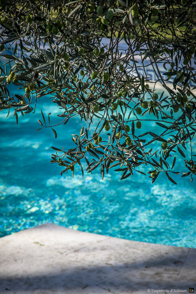 Olivier en bordure de piscine