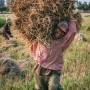 Récolte du riz