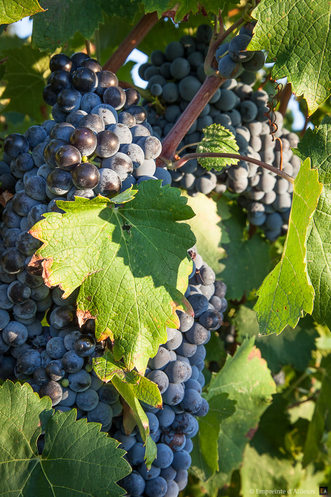 vigne-vendange-9537